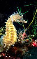 Sea Horse (Hippocampus guttulatus)
