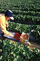 Strawberry harvest. Lepe. Huelva province. Spain