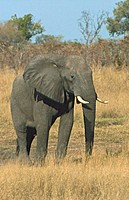 African Elephant standing in a field, Hwange National Park, Zimbabwe Loxodonta africana