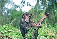 ChimpanzeeTanzania