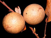 Andricus kollari's galls on oak (Quercus faginea)
