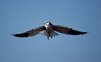 Black-shouldered Kite (Elanus caeruleus). Kruger National Park. South Africa