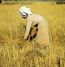 Woman Harvesting Rice in the Field