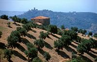 Olive plantation in Cilento (S. Italy)