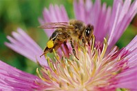 Bee (Apis mellifera) collecting nectar from flower