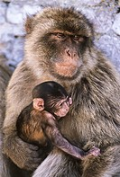 Barbary Macaques (Macaca sylvanus), old female with baby