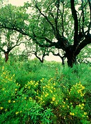 Wildflowers and Cork Oaks, Mediterranean forest