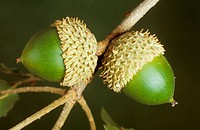Acorns of Kermes Oak (Quercus coccifera)