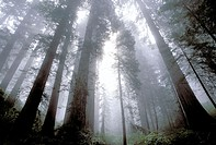 Redwoods (Sequoia sempervirens). Redwood National Park. California. USA