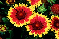 Blanketflower (Gaillardia sp.)