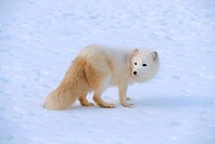 Side profile of an Arctic Fox standing on snow Alopex lagopus