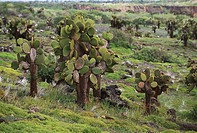Tree Opuntias (Opunta echios). Plaza Sur. Galápagos Islands. Ecuador