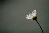 One White Marguerite