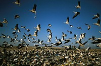 White Storks (Ciconia ciconia) feeding in garbage dump. Spain