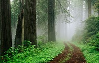 Redwoods (Sequoia sempervirens) in fog. Redwood National Park. Northern California. USA