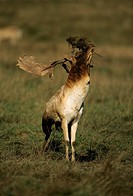 Fallow Deer (Dama dama). England