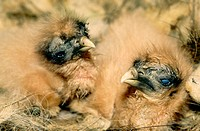 Egyptian Vulture (Neophron percnopterus) baby in nest