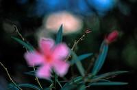 One Pink Oleander