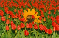 One Yellow Sunflower, Red Tulips