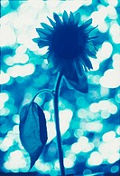 One Blue Sunflower