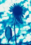 One Blue Sunflower
