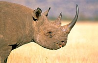 Black Rhinoceros (Diceros bicornis). Kenya