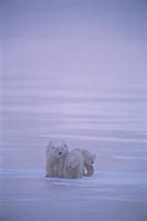 Polar Bear with Two Cubs Walking on Ice in Storm,/n Near Churchill, Manitoba