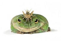 Green Frog with Grasshopper on Head