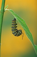 Series,Monarch Butterfly Caterpillar on Milkweed´