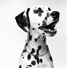 Portrait, Dalmatian, B&W´