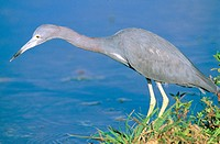 Little Blue Heron (Egretta caerulea). Everglades. Florida. USA