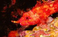 Scorpionfish (Scorpaena maderensis)