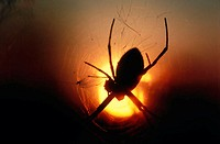 Orb spider in web with the sun