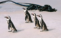 Jackass Penguins (Spheniscus demersus). Simonstown Cape. South Africa