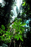 Lush vegetation in the tropical rain forest of the Amazonian basin, Ecuador. Rain forests are hot, wet evergreen forests found in the equatorial regio...