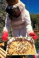 Beekeeping: beekeeper in full protective clothing removes a brood frame from a bee hive. Brood frames slot into the brood chamber where the queen bee,...