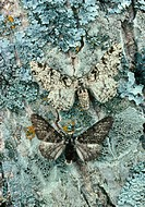 CREDIT: CLAUDE NURIDSANY & MARIE PERENNOU/SCIENCE PHOTO LIBRARY Moth camouflage.  Two colour varieties of peppered moth Biston betularia on the bark o...