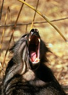 Male chacma baboon, Papio ursinus, yawning and displaying his long, pointed canines. Chacma baboons are among the largest of these monkeys. A mature m...