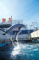 Dolphins in aquarium. Captive dolphins (family Delphinidae) leaping in a pool. This is their private´ area, not open to the public. Dolphins are agile...