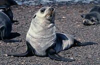 Antarctic fur seal pup (Arctocephalus gazella) on a beach. It has recently shed its dark juvenile fur and developed its silver-grey adult coat. The An...