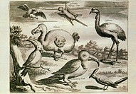 Dodo and other birds. Historical engraving of various birds, including the extinct dodo (centre left). The dodo was a large flightless bird related to...