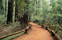 Path through redwood trees. Armstrong Redwoods State Reserve. California. USA
