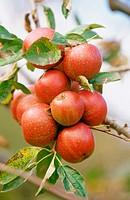 ´Manzana Reineta´ (apples). Zerain. Guipúzcoa. Euskadi. Spain