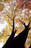 Towering, silhouetted trunk and branches of tree with fall colors on display
