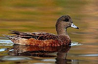 American Wigeon (Anas americana), female. California. USA
