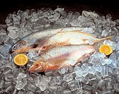 Photo illustrated aquatic animals, fish, dead, raw, exposed, purchasing, selling, food,