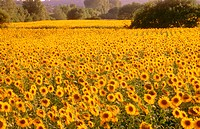 Fields of sunflowers. Vallerargues. Provence. France