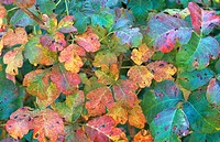Pacific Poison Oak (Toxicodendron diversilobu) leaves in autumn. California. USA