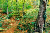 Beech wood in Lizarrausti mountain pass, Ataun, Gipuzkoa