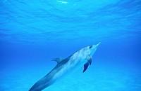 Spotted Dolphin (Stenella plagiodon). Bahamas.